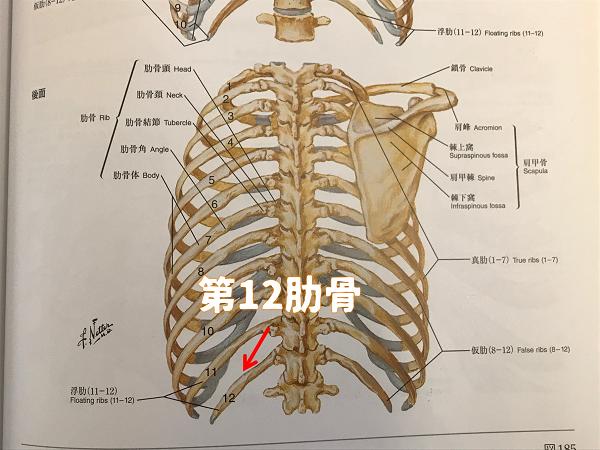 第12肋骨