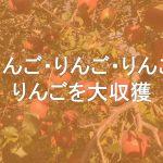 リンゴの収獲をお手伝いしてきました!
