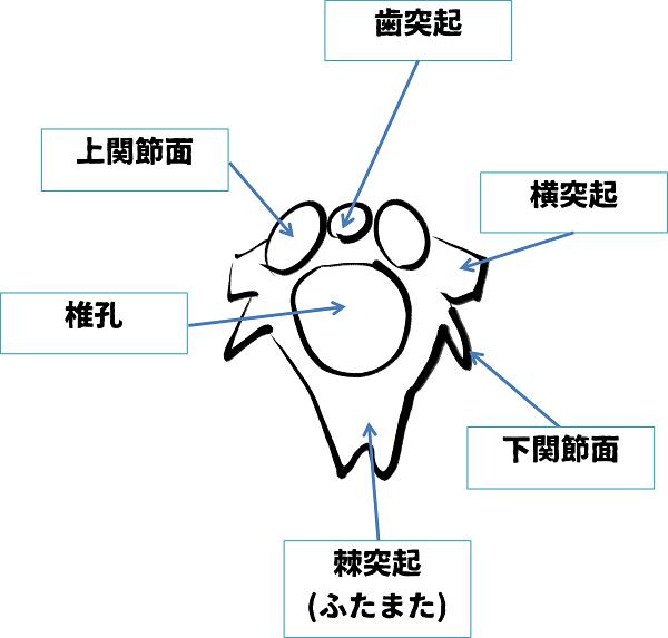 2頚椎(上から)解答
