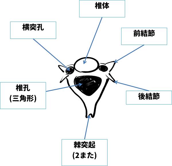 3-7頚椎(上から)解答