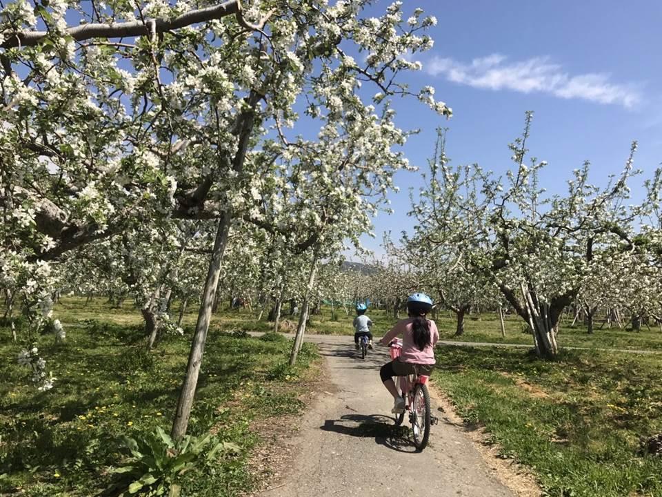 リンゴの花畑