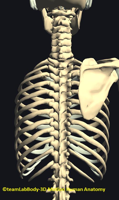 肋骨の関節後ろ