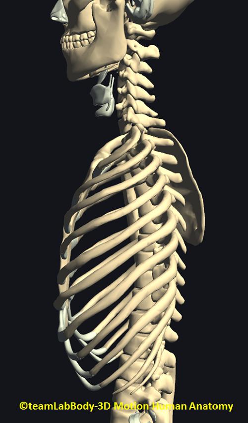 肋骨の関節横