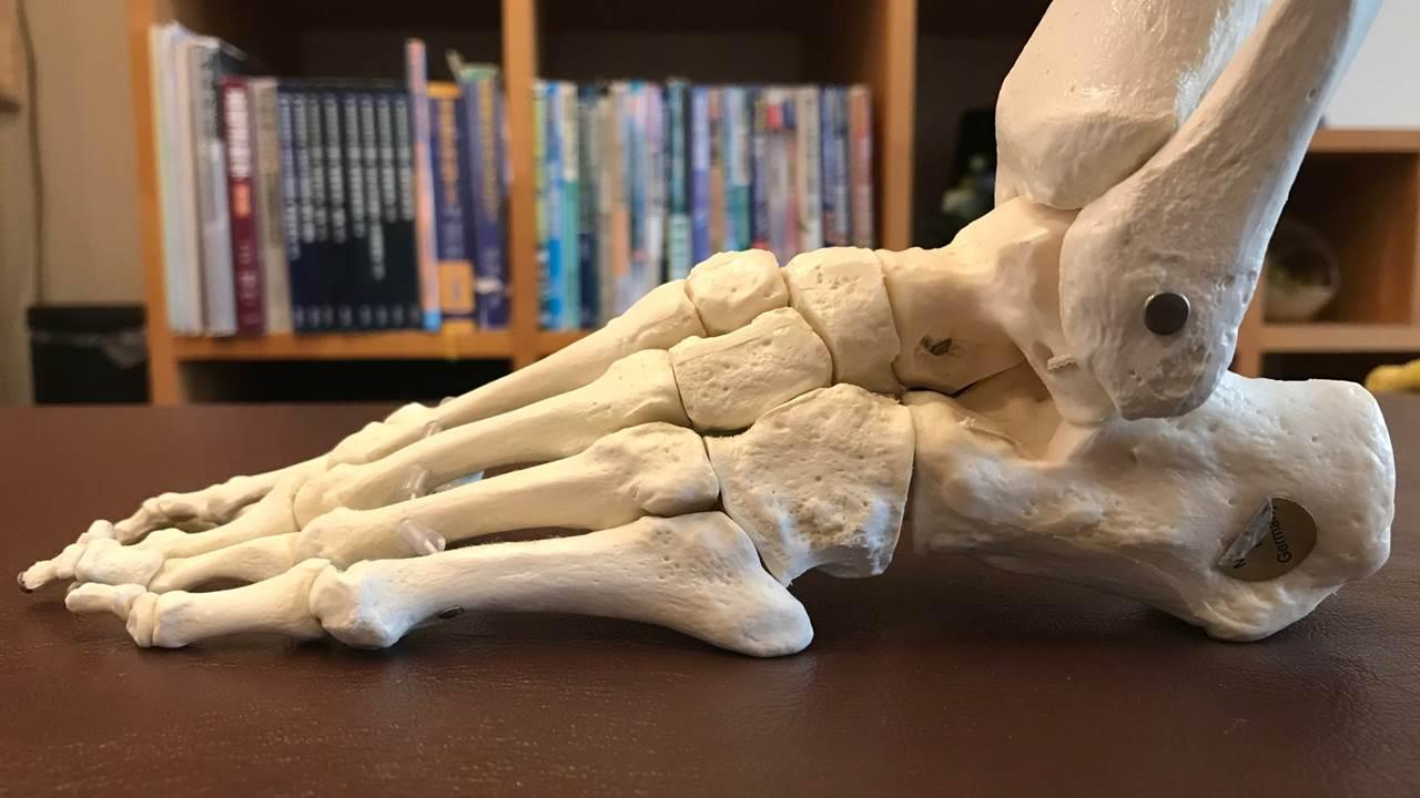 足の骨模型外側