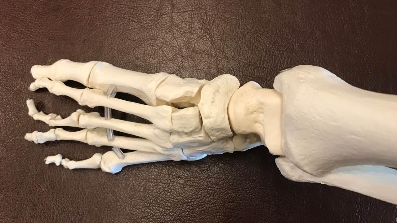 足の骨模型水平面