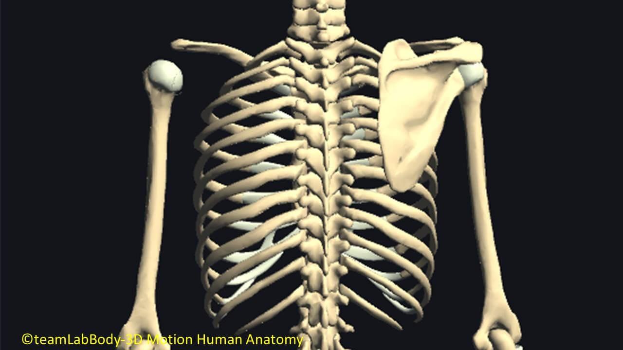 肋骨の関節
