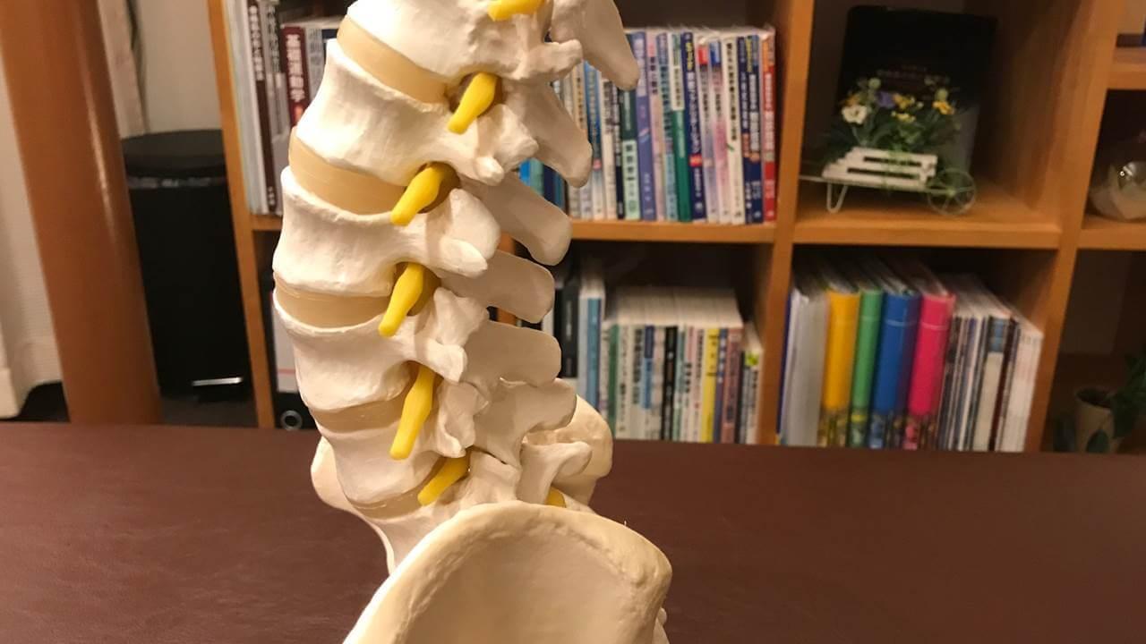 腰椎の模型