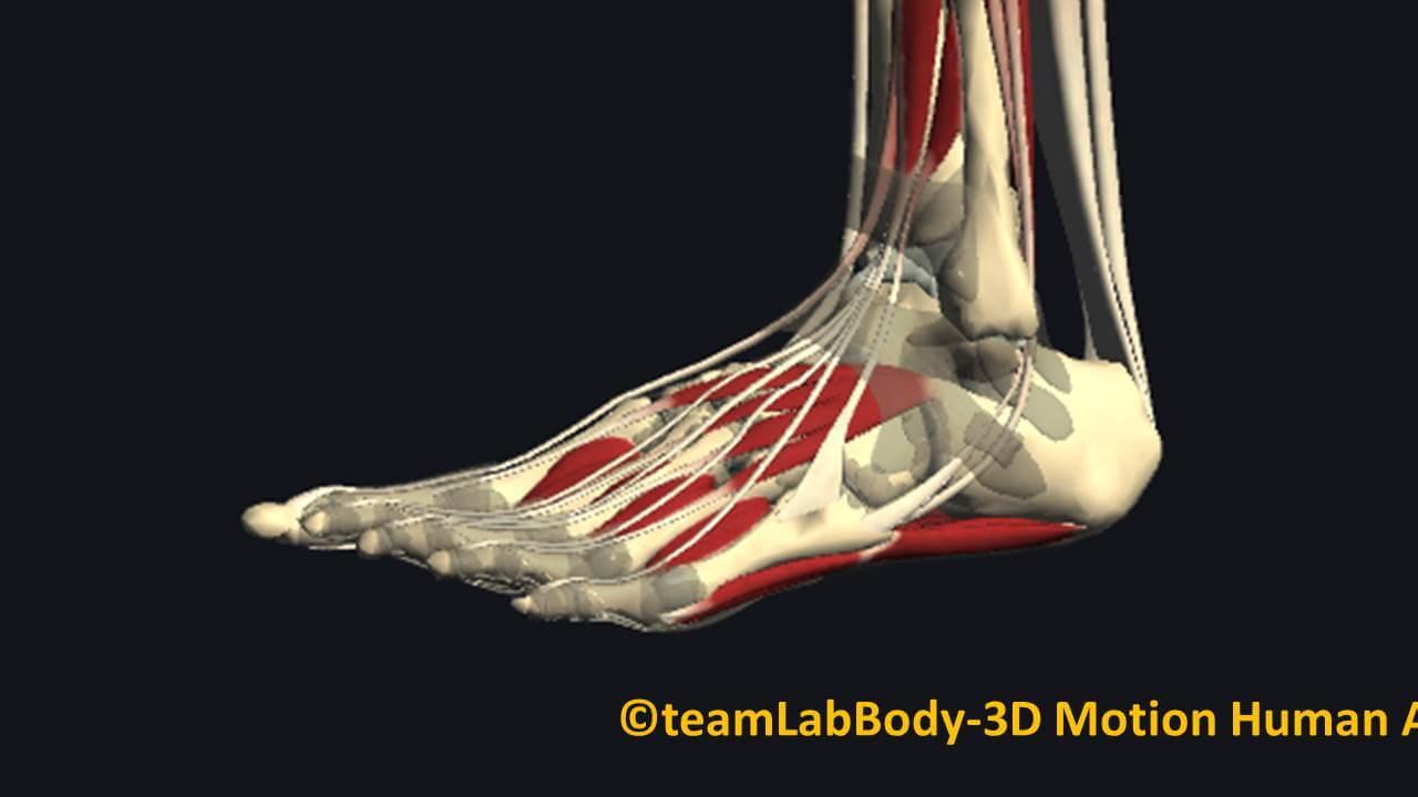 足関節の筋肉