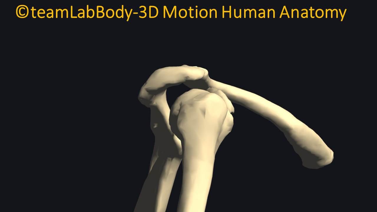 第二肩関節
