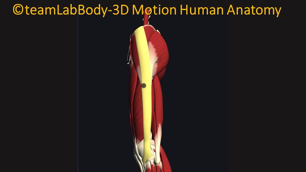 腸脛靭帯の付着