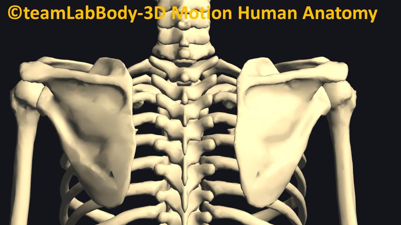 肋横突関節・肋椎関節
