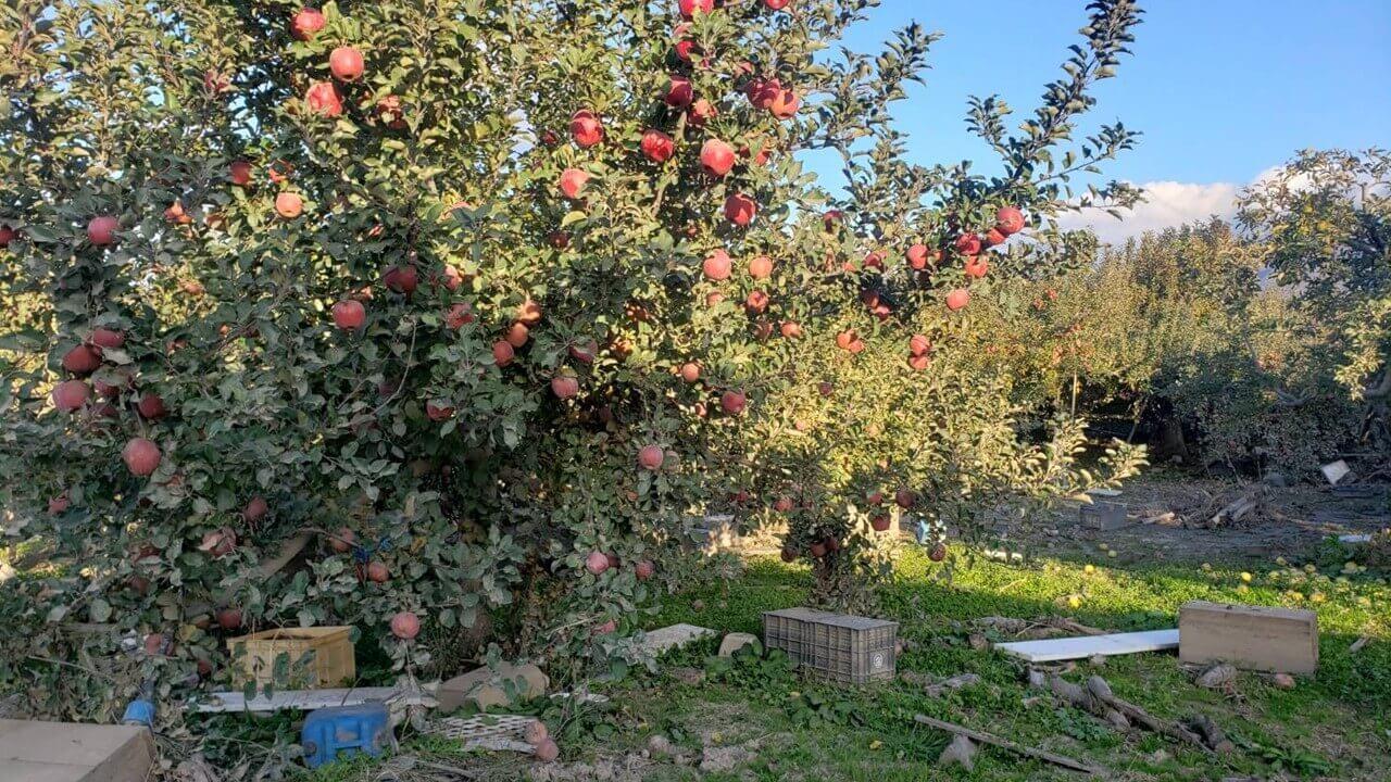 リンゴの木水没