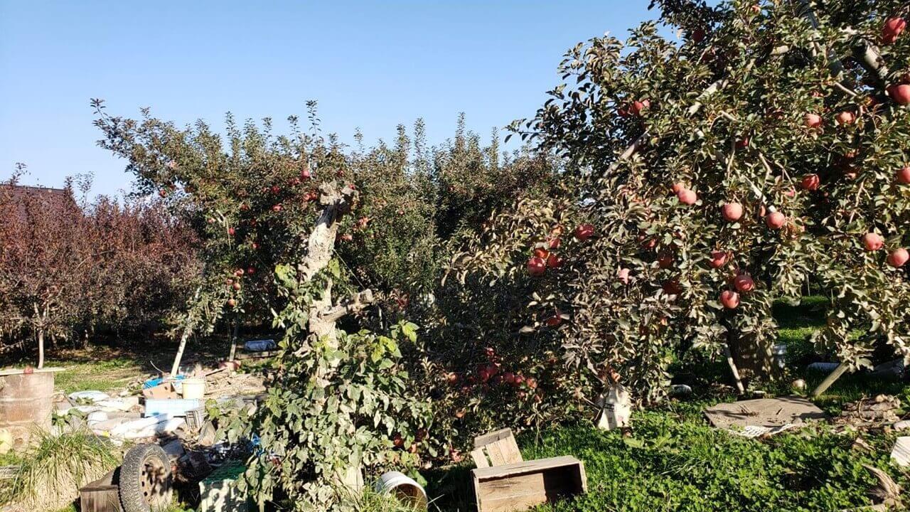 リンゴの木水没2