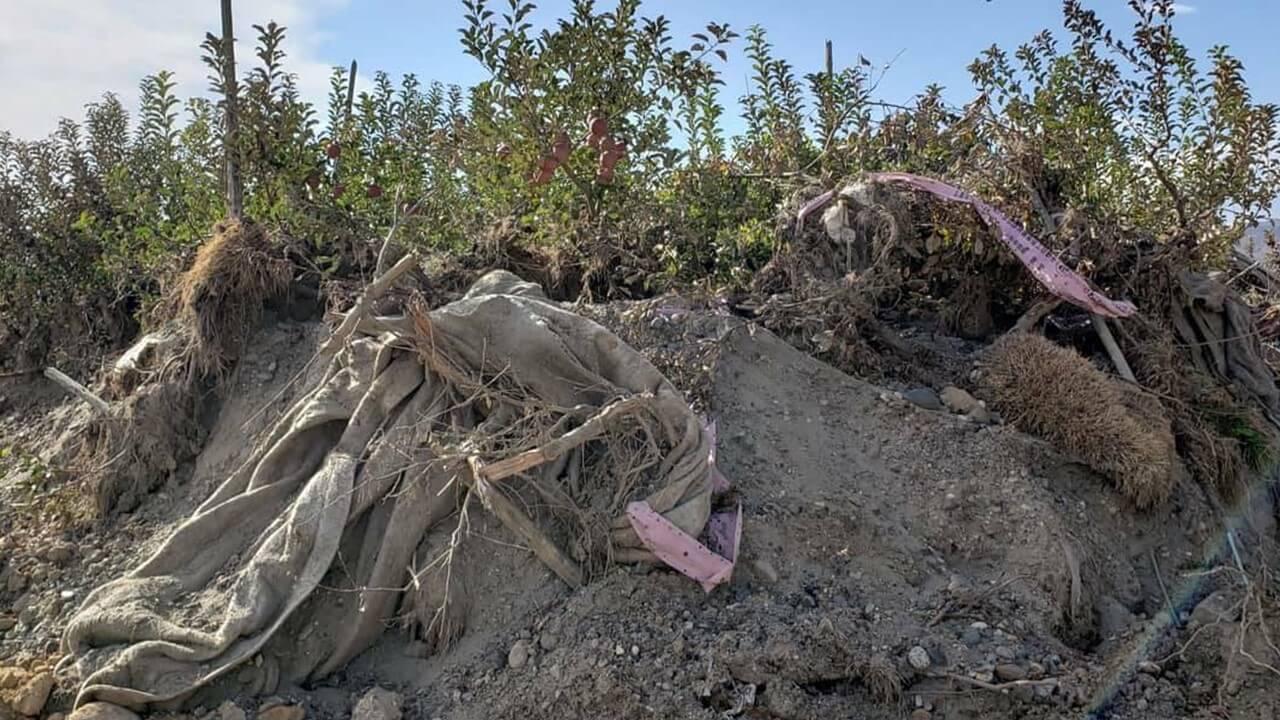 瓦礫に埋もれたリンゴの木